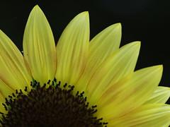 (Polotaro) Tags: flower nature pen olympus   zuiko ep1      tamronsp90mmf28macro1172b epm2