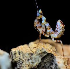 Creobroter pictipennis, L2 (_papilio) Tags: macro canon mantis nikon invertebrate papilio mantid arthropod mpe65 pictipennis creobroter d800e