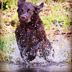 Eyes on the prize. (David Strandberg Minneapolis) Tags: puppy labradorretriever waterfowl duckhunting chocolatelabrador waterdog dogtraining huntingdog davidstrandbergminneapolis