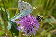 Argus bleu et syrphe en region parisienne sur une centaure. (TICHAT10) Tags: violet vert mauve animaux insectes papillons essonne argusbleu syrphes alittlebeauty
