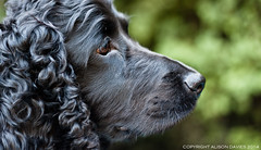 Dog Face - Bazil (Photo Gal 2009) Tags: dog black look looking canine blackdog stare worker staring bazil dogportrait workingcocker blackcocker workingcockerspaniel dogworker englishworkingcocker