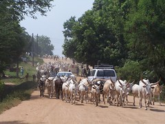 "Sudan_Juba_cattle_on_street • <a style=""font-size:0.8em;"" href=""http://www.flickr.com/photos/62781643@N08/14996876762/"" target=""_blank"">View on Flickr</a>"
