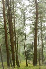 Misty morning in the woods (Trevor King 66) Tags: morning trees mist tree misty pine nikon shropshire view bark fir trunks hillside d3100