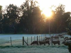 Early Morning at Echuca. (The Pocket Rocket) Tags: sunrise fence frost sheep farm australia victoria echuca explore276