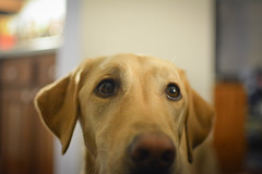 Penelope (jzhill) Tags: dog yellow puppy penelope labrador canine retriever