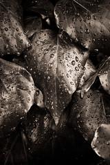 Autumn leaves, 2012 (Olivier BERTRAND) Tags: autumn blackandwhite nature forest canon noiretblanc autumnleaves 60mm dslr blackandwhitephotography macrolens canon60mmmacro canonlens olivierbertrand canon7d