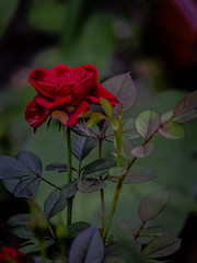 P9012505 Green Dancer & Rose (In The Zone VI) Tags: lens takumar f35 200mm
