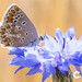 Butterfly on a blue cornflower in an agricultural field
