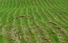 Wheat in the Wind (photo fiddler) Tags: wild summer canada bay flora wheat windy august roadside 2014 pomquet