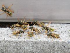 Busy (jamica1) Tags: canada insect buzz bc wasp okanagan columbia british kelowna maas swarm geert