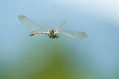 Flying Grand?a (deletio) Tags: blue japan dragonfly insects aomori 2014 d700 afnikkor300mmf4ed