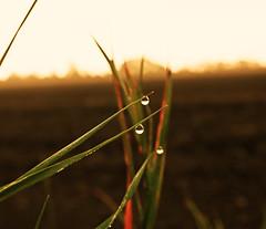 Good Morning (Stig Johansson) Tags: morning sun lund home water sunrise early waterdrop drop earlybird vallkärra vallkarra