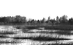 Autumn Toward Grays (russell.tomlin) Tags: autumn blackandwhite bw landscape wetlands westernoregon