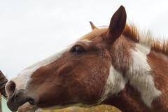 Idylle (anna.kraft) Tags: natur pferde pferd bauernhof idylle
