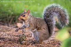Zombie Squirrel (P9200376) (Michael.Lee.Pics.NYC) Tags: newyork garden botanical squirrel feeding cone bokeh