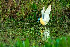 capped heron in the pantanal - brazil (Russell Scott Images) Tags: brazil pantanal southamerica birds cappedheronpilherodiuspileatus russellscottimages
