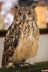 Buho real (www.jorgelazaro.es) Tags: naturaleza animal fauna ave nocturna pjaro bho rapaz cetrera
