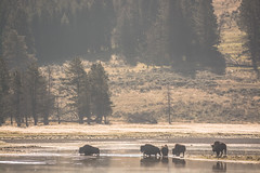 Bison crossing (szhorvat) Tags: morning mist nature river crossing wildlife foggy yellowstone bison herd
