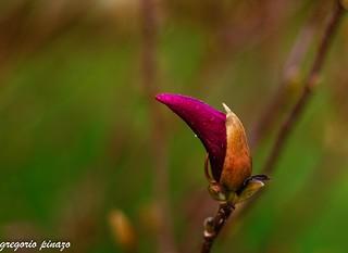 capullo de magnolia Efex pro_