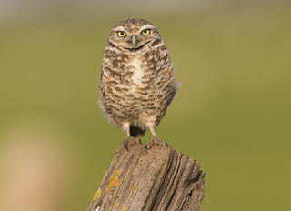 Burrowing Owl with sheep background