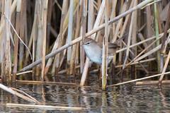 Cetti's warbler (Shane Jones) Tags: cettiswarbler warbler bird wildlife nature reeds nikon d7000 200400vr tc14eii