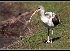 White Ibis Juvenile (ctofcsco) Tags: 1500 100 350mm 5d 5dclassic 5dmark1 5dmarki baby bird canon cute ef353503556lusm ef35350mm ef35350mmf3556lusm eos5d explore f10 fl florida juvenile lakecity pretty superzoom telephoto unitedstates usa waterbird whiteibis young geo:lat=3019051022 geo:lon=8263250928 geotagged nature