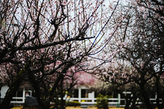 Sanrokugama :Plum Blossoms (Nazra Zahri) Tags: plumblossoms spring vscofilm bizen okayama japan 2017 raw pink