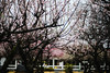 Sanrokugama :Plum Blossoms (Nazra Z.) Tags: plumblossoms spring vscofilm bizen okayama japan 2017 raw pink