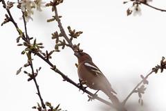 _9IL6273 (79prometeo) Tags: uccelli uccello bird fringuello