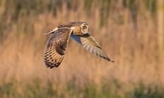 Short Eared Owl (gazclarke2555) Tags: wildlife nature birds owls nikon d7200 sigma 150600 sport shorty bif bop uk merseyside