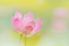 With Or Without You (Anna Kwa) Tags: lotus flower doubleexposure bokeh nature art annakwa nikon d750 afsnikkor70200mmf28gedvrii my withorwithoutyou always u2 2cellos seeing heart soul throughmylens live life wmh creative experimental