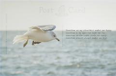 Sunshine on my Shoulders by John Denver (jm atkinson) Tags: 7dwf texture bonapartes seagull ocean atlantic post card maine st johns bay htt tuesday totally john denver d7100 18200mm