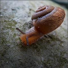 Gastropoda (Nightgoose) Tags: caracol snail gastropoda