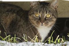 Cat portrait. (Tanvir.Kawnine) Tags: cat cateye outdoor nature animal