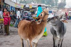 IMG_3739 (Manveer Jarosz) Tags: bkkzone bharat gaumatakijai hindustan incredibleindia india jaigaumata jhadol jharol mandimagrihamlet rajasthan sevamandir talaivillage udaipur busstation couple cows gaay gau kissing love people pyar romance rural street village