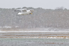 Lift in a Storm (brucetopher) Tags: storm snow water sea ocean bay tidal river tide surge wash rough stormy windy blow noreaster east eastern newengland beach snowing blizzard stormsurge surf wind gale erosion coast saltwater gull seagull bird fly flying flight soar soaring beauty nature natural