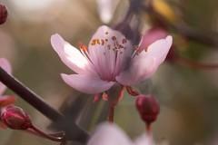 Japanese Cherry Blossom (mikehaui60) Tags: olympusomdem1 omd em1 mft gardening cherryblossom softtones bokeh plants cherryplum