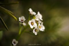 (anahí tomillo) Tags: nikond5100 nikon naturaleza nature flores flowers nikkor 40mm colors color