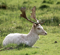 Relaxing Sunday Afternoon (Glenda Hall) Tags: stag deer fallowdeer whitedeer whitefallowdeer animal antlers horns grass parkanaur castlecaulfield dungannon tyrone countytryone cotyrone northernireland uk ireland canon80d canon 80d sigma sigmazoom sigma150500 500mm glenda hall glendahall spring april 2017 sunshine face profile distinguisheddeer