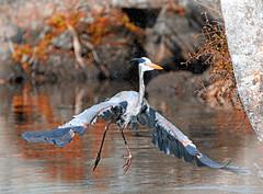 Heron Spray: Can you See It? (Stan in FL) Tags: greatblueheron unitedstates florida homosassa ellieschillerhomosassaspringswildlifestatepark bird birding nature natur nikon d500 tamron