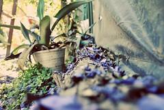 Las pequeñas cosas. (spawn5555) Tags: naturaleza jardín garden jacaranda color belleza cotidiano nikon d3000 photography fotografía planttas plantas maceta