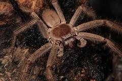 IMG_0768 (Roving_photographer) Tags: giant grey huntsman holconia immanis house spider sparassidae macquarie park sydney australia