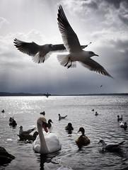 Coreografía (Japo García) Tags: cisne gaviota contraluz lago volar coreografía bailar luz sol nubes gris reflejo patos aves vertical