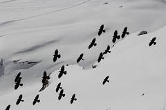 Grindelwald - First (Shabba Al) Tags: grindelwald skiing mountains alpes snow sunshine chough alpine bird