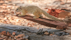 Ready to jump (rachelsloman) Tags: botswana kwai squirrrel wild animal