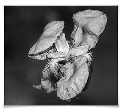 Colorless (explored) (Paco CT) Tags: catalonia catalunya flor flower iris lirio terrassa barcelona spain esp monochrome pacoct 2017 explore