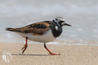 Ruddy Turnstone at the Jersey Shore | 2016 - 1