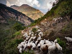 Flock of sheep and goats on a hillside in the Himalayas, Nepal (CamelKW) Tags: abc annapurnabasecamptrek annapurnaregiontrek annapurnasanctuary fishtail kathmandu mbc machapuchare machapucharebasecamp nepal pokhara trekking sheep goats hillside