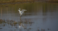 Little egret dancing (Andrew Laws) Tags: little egret heron uk wildlife nature nikon d7100 sigma 70300mm white reflections water lake