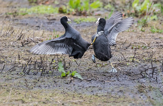A pair of Coots fighting, the males started on land and gradually moved into the muddy water where they continued, at one point one of females joined in.  RSPB Grey Lake.